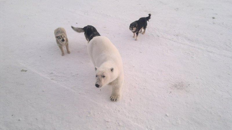Белый медведь на военной базе острова Котельный